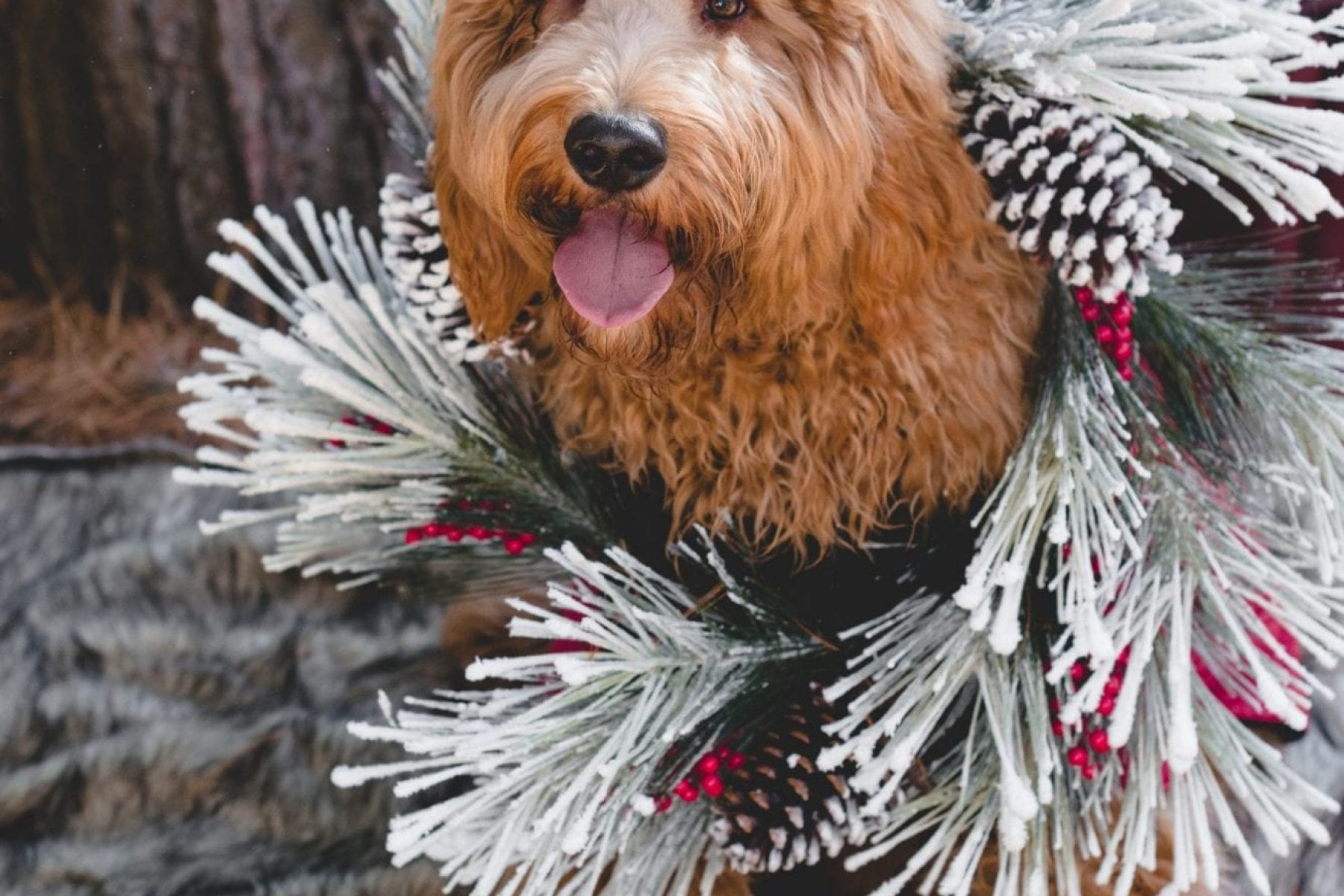Dog-Goldendoodle-Holiday-Christmas